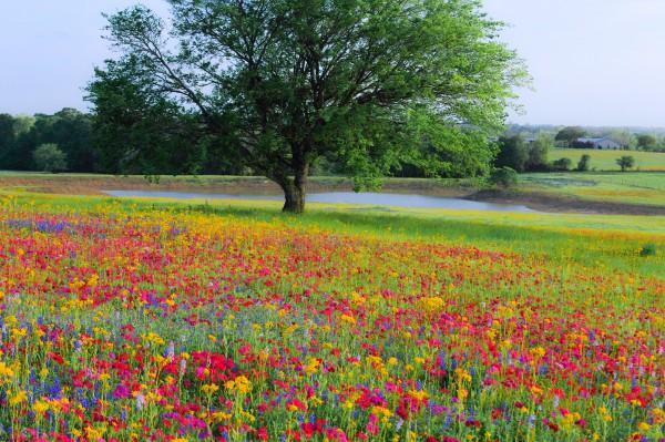 Wildflowers of Texas:
